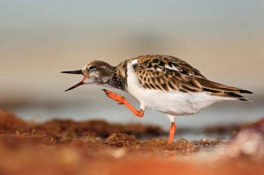 Ruddy Turnstone in the water