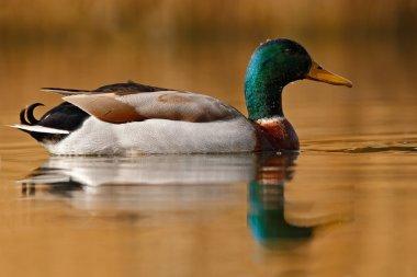 Water bird Mallard