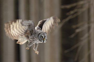 Flying big Great Grey Owl
