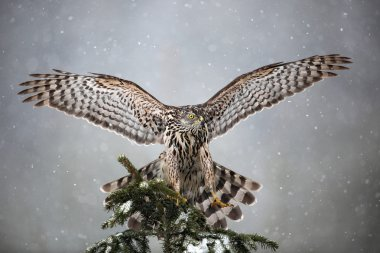 Goshawk landing on spruce tree