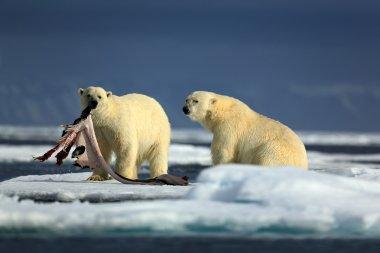 Pair of polar bears with seal