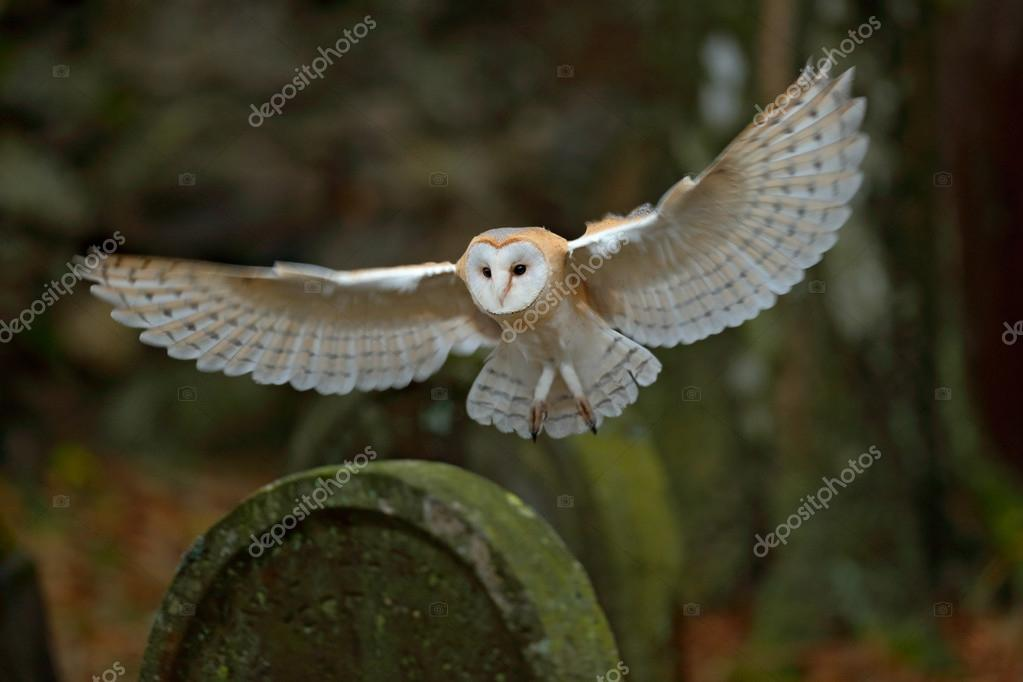 Barn owl on headstone