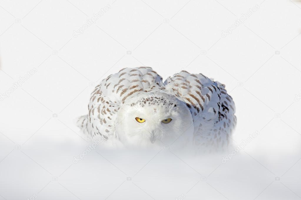 Snowy owl white rare bird