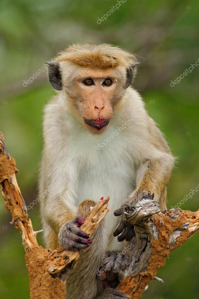 Toque macaque with fruit in the mouth