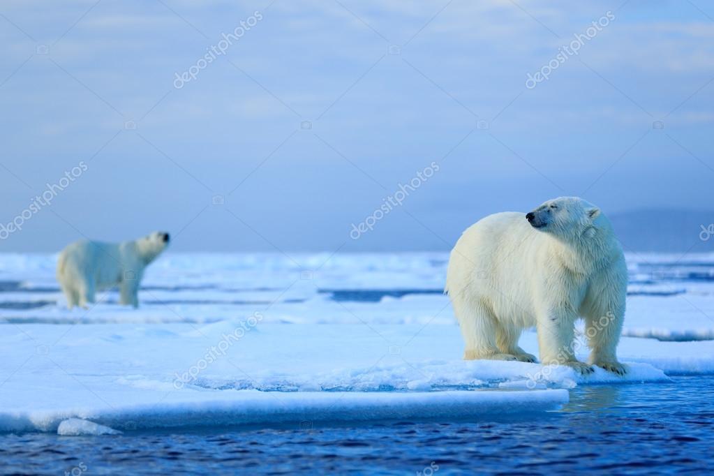 Polar bears couple cuddling