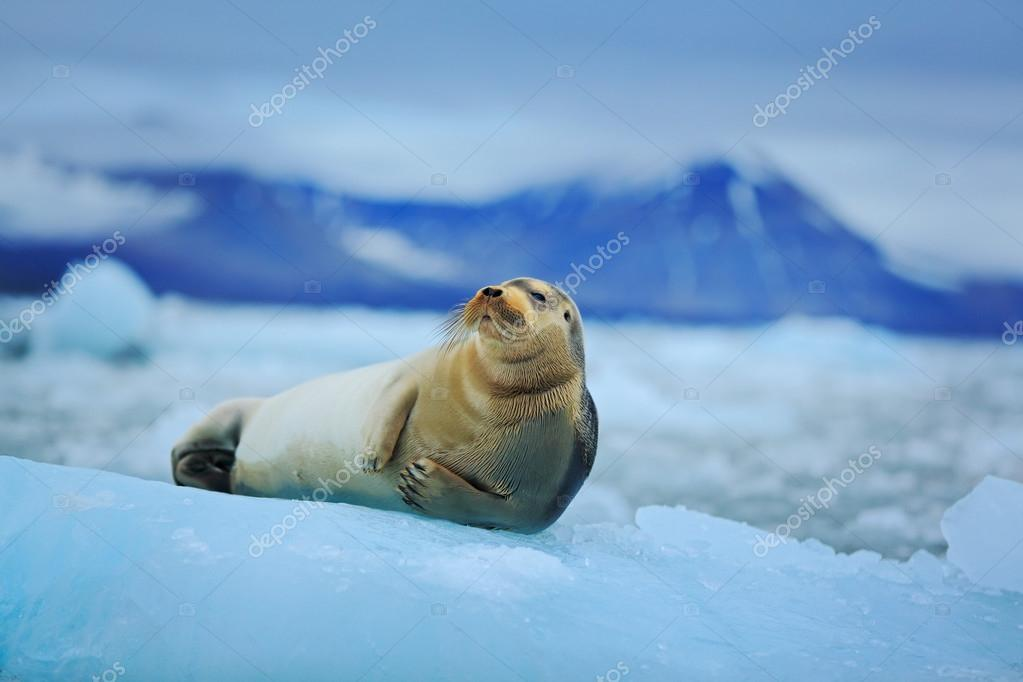 Lying Bearded seal