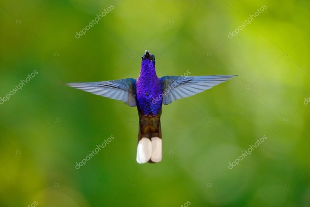 Hummingbird Violet Sabrewing