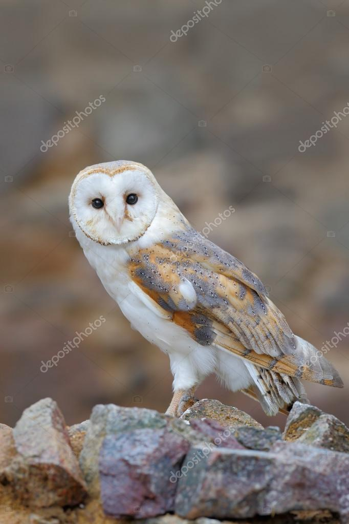 Barn owl sitting on stone wall