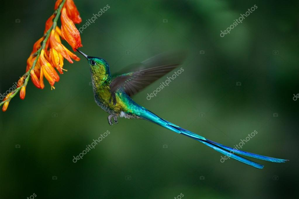 Hummingbird Long-tailed Sylph