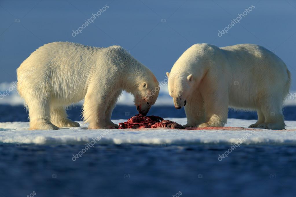 Polar bears tearing hunted seal