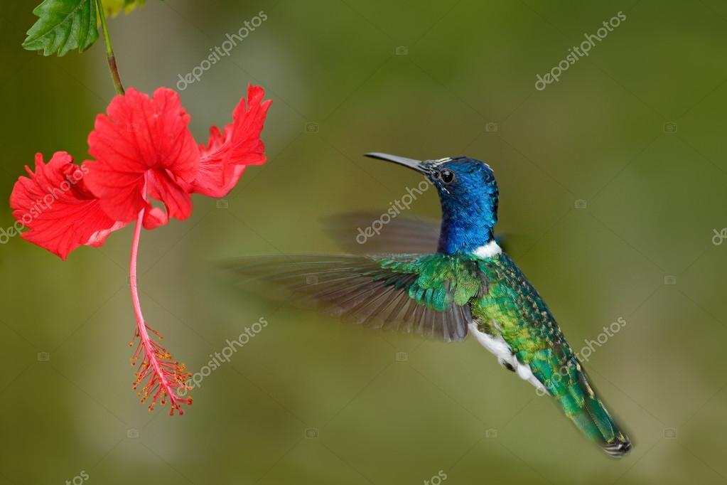 Hummingbird White-necked Jacobin