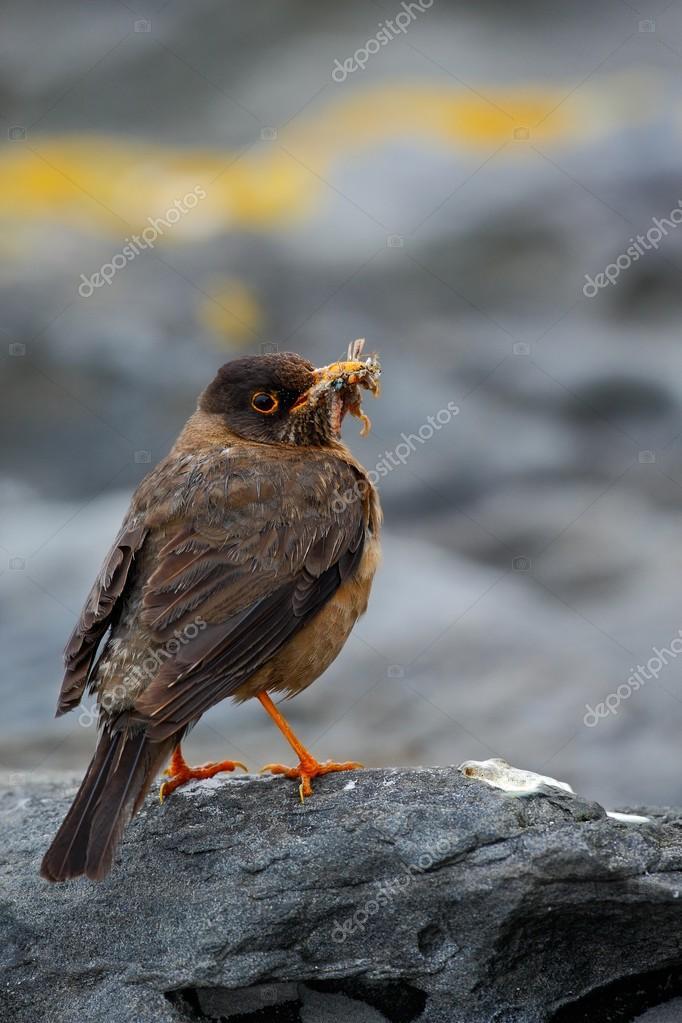 Falkland Thrush brawn bird