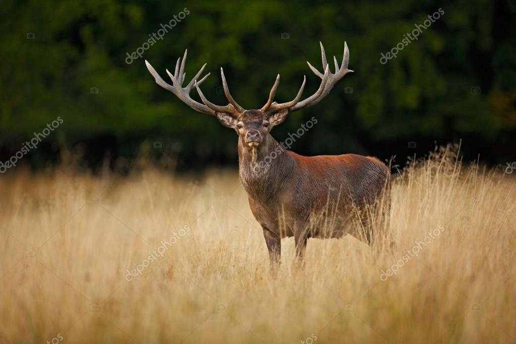 Powerful adult red deer