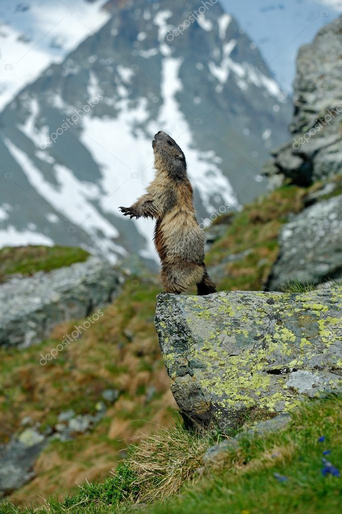 Cute sit up animal Marmot
