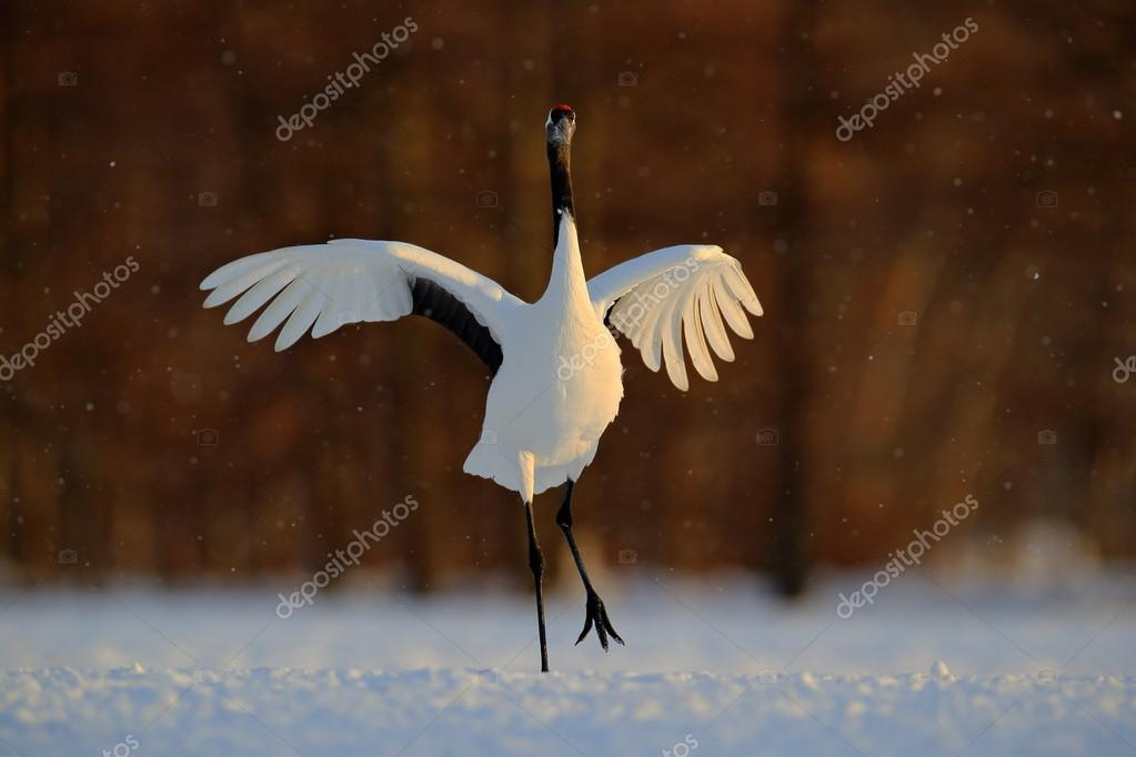 Dancing white bird Red-crowned crane