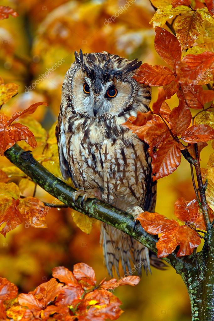 Long-eared Owl with oak leaves