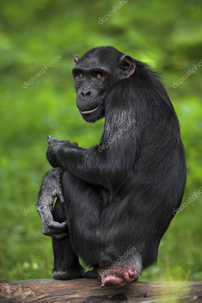 Black mankey Chimpanzee