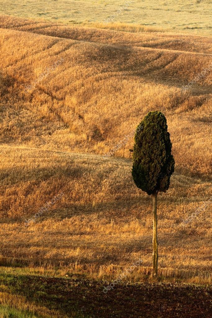 Lonely tree between fields