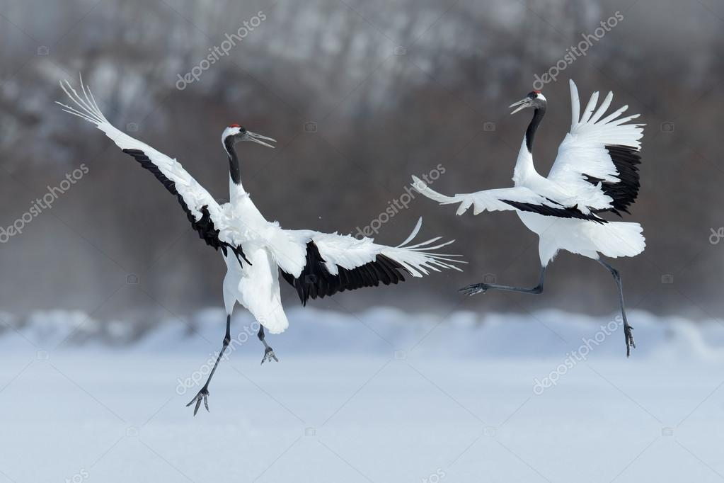 Dancing pair of Red-crowned cranes