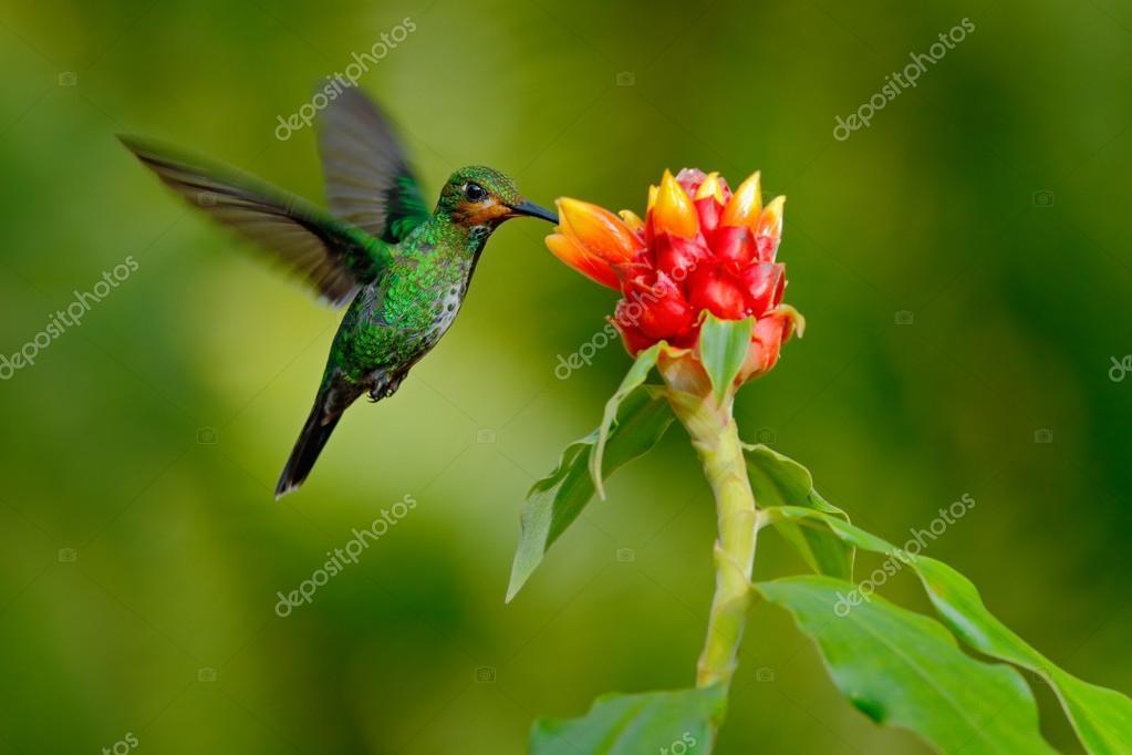 Hummingbird Green-crowned Brilliant