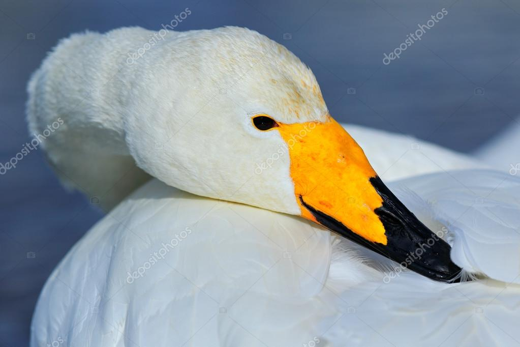 Whooper Swan with yellow beak — Stock Photo ...
