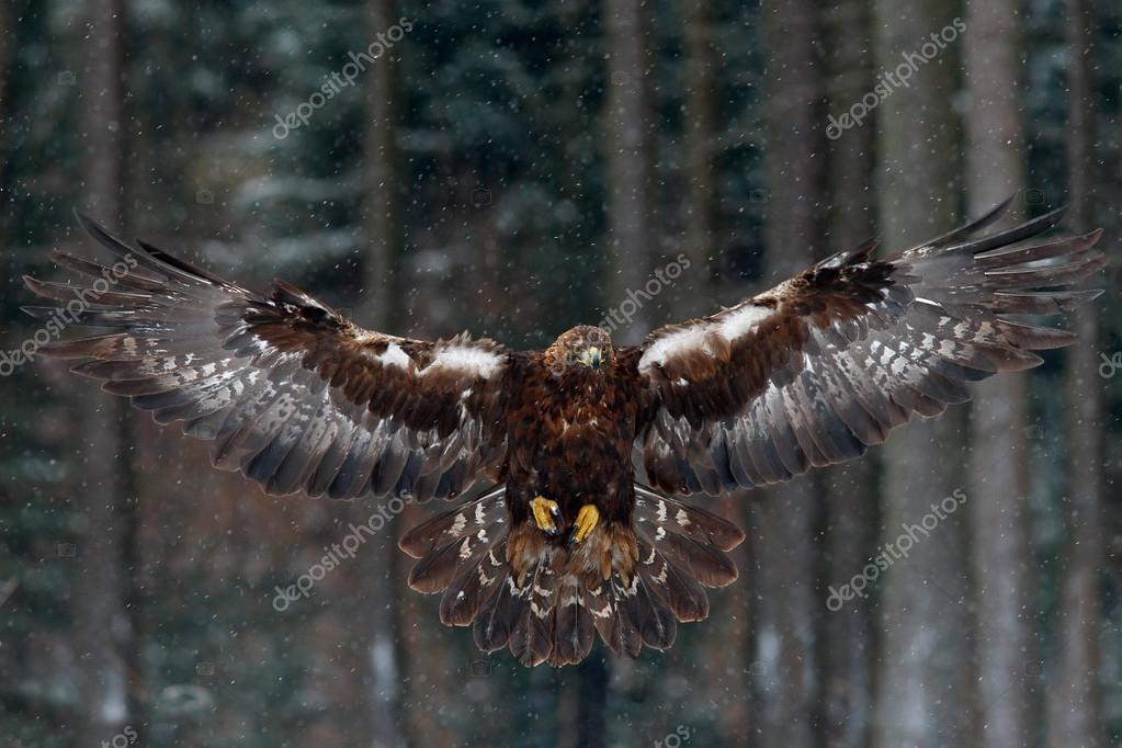 Flying bird of prey golden eagle