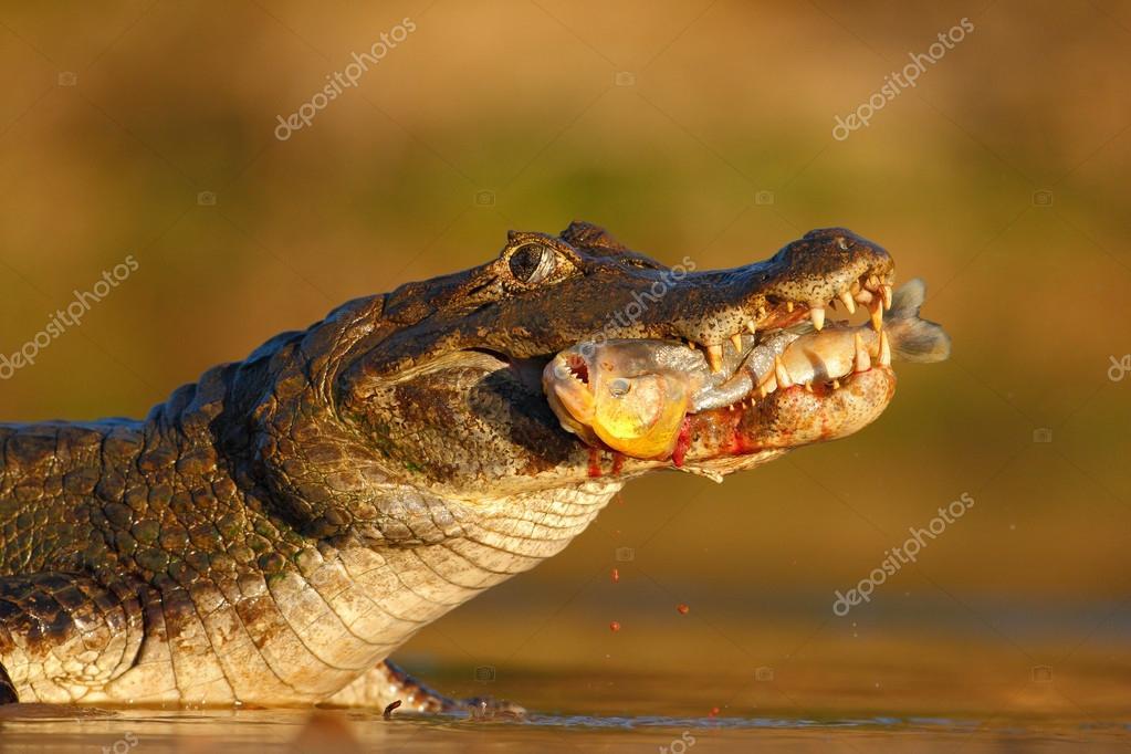 Crocodile with piranha fish
