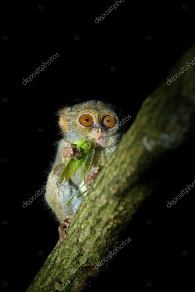 Spectral Tarsier with green grasshopper