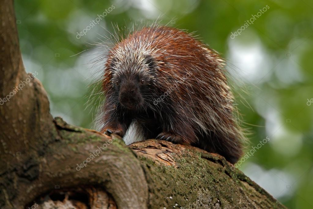 Mexican Prehensile-tailed Porcupine