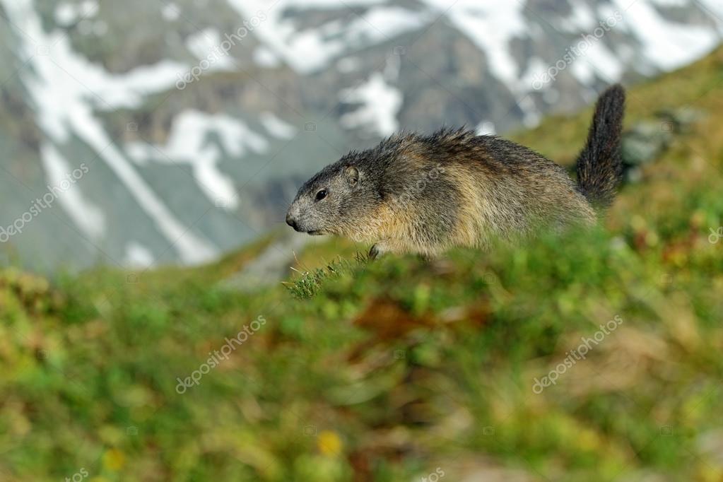 Marmot running in the grass