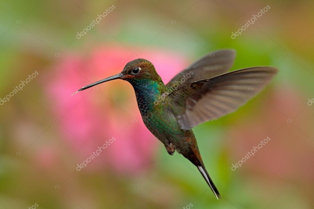 White-tailed Hillstar  hummingbird