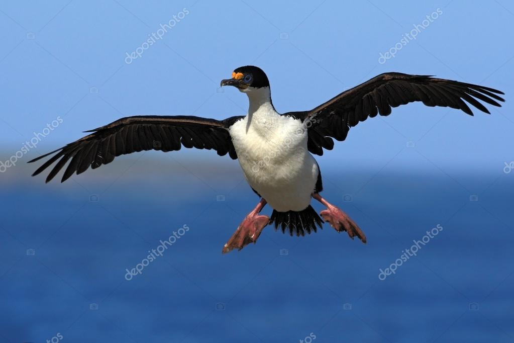 Imperial Shag cormorant in flight