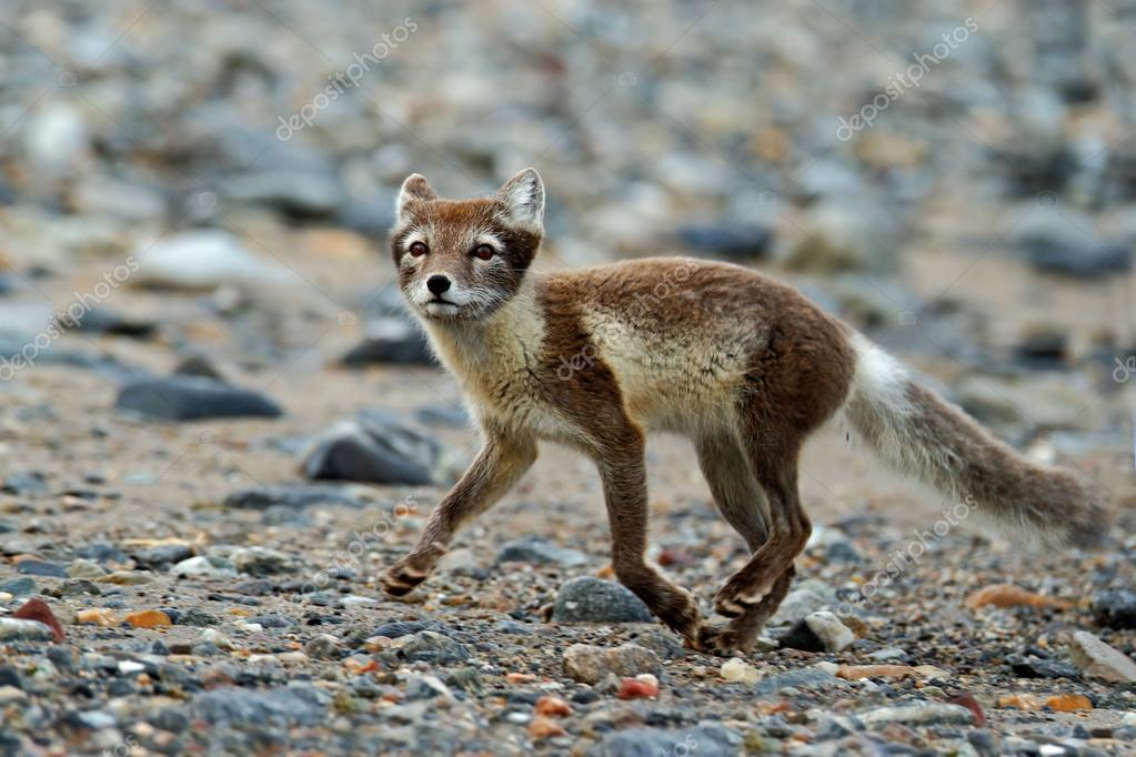 Arctic Fox at grey pebble beach