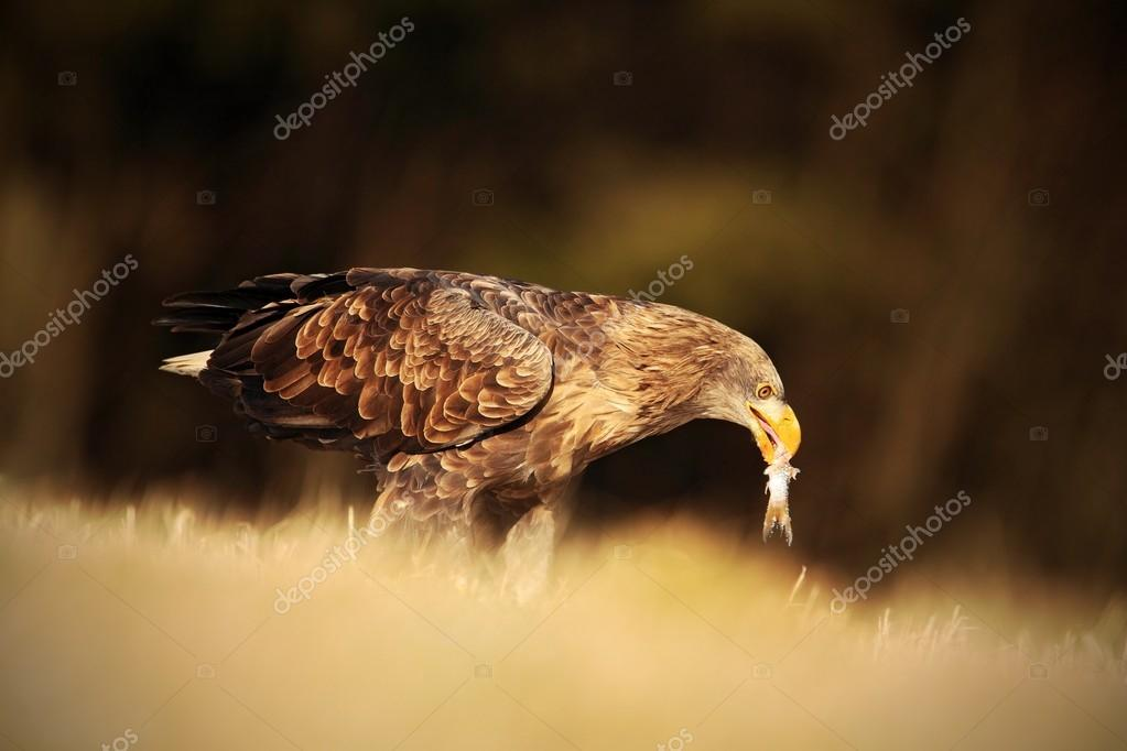 Big bird of prey White-tailed Eagle
