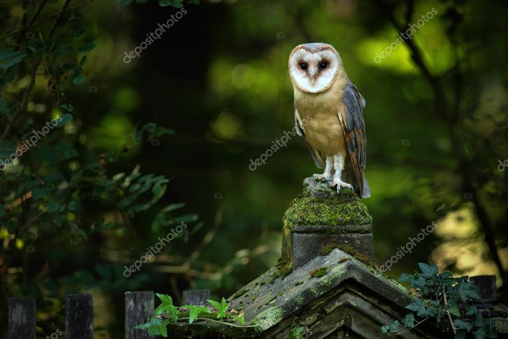 Magic bird barn owl