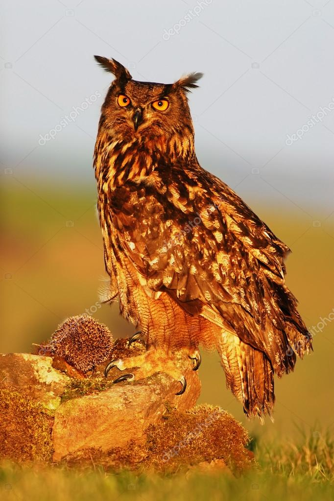 Eagle Owl with kill hedgehog