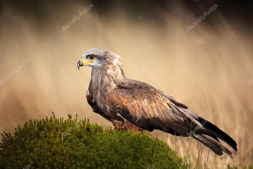Brown bird of prey black kite