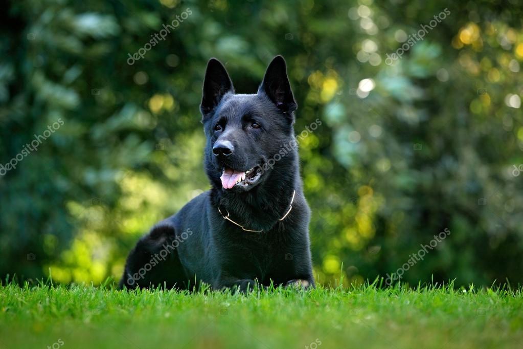 full black german shepherd - HD1200×800