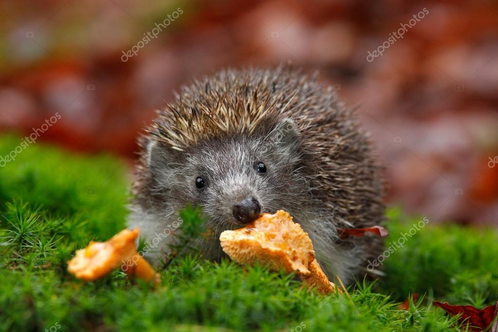 Cute European Hedgehog