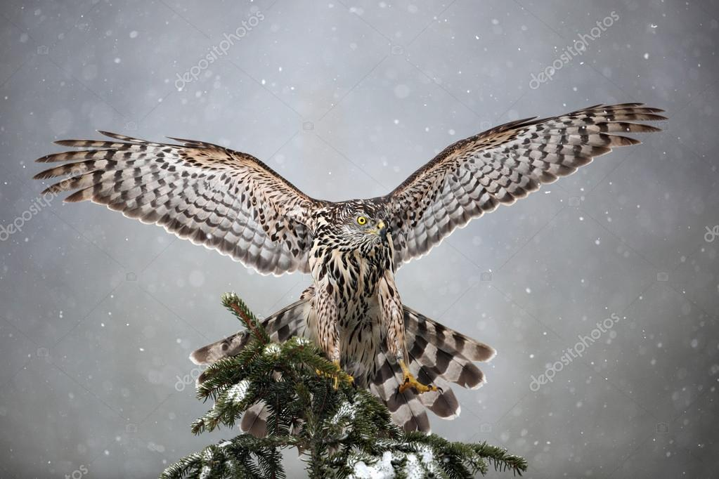 Goshawk landing on spruce tree