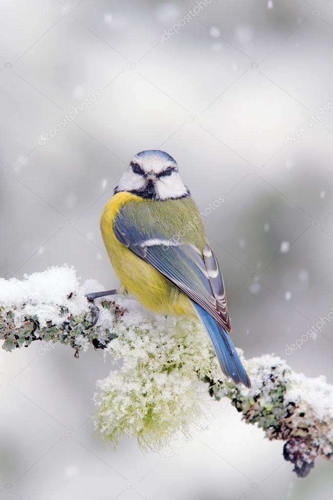 Cute songbird Blue Tit