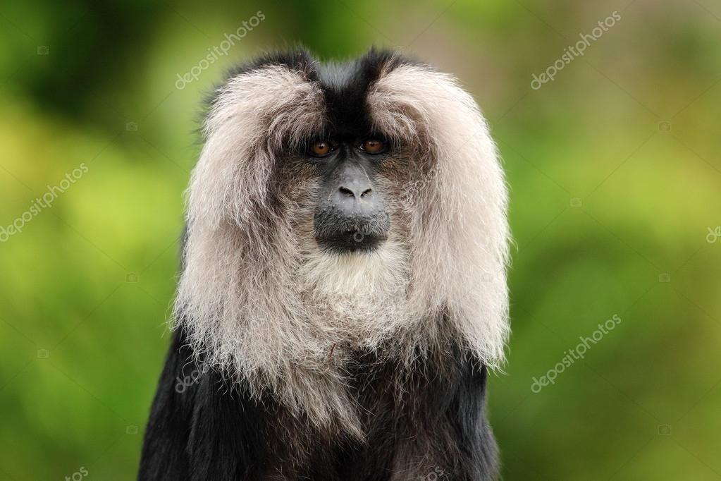 Portrait of Lion-tailed Macaque