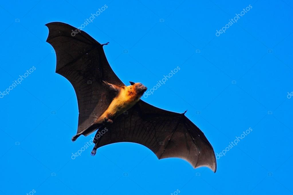 Giant Indian Fruit Bat
