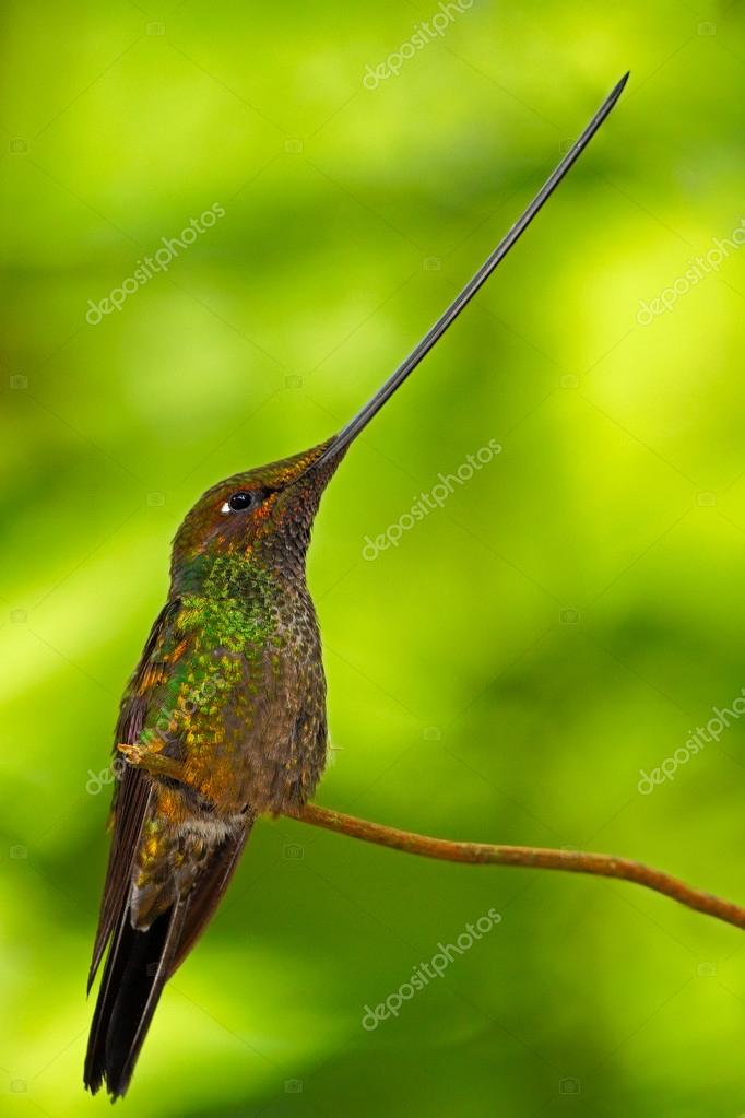 Sword-billed hummingbird, Ensifera ensifera