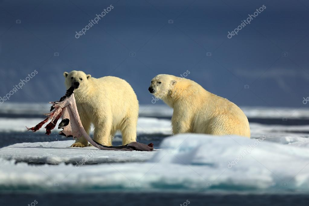 Pair of polar bears with seal