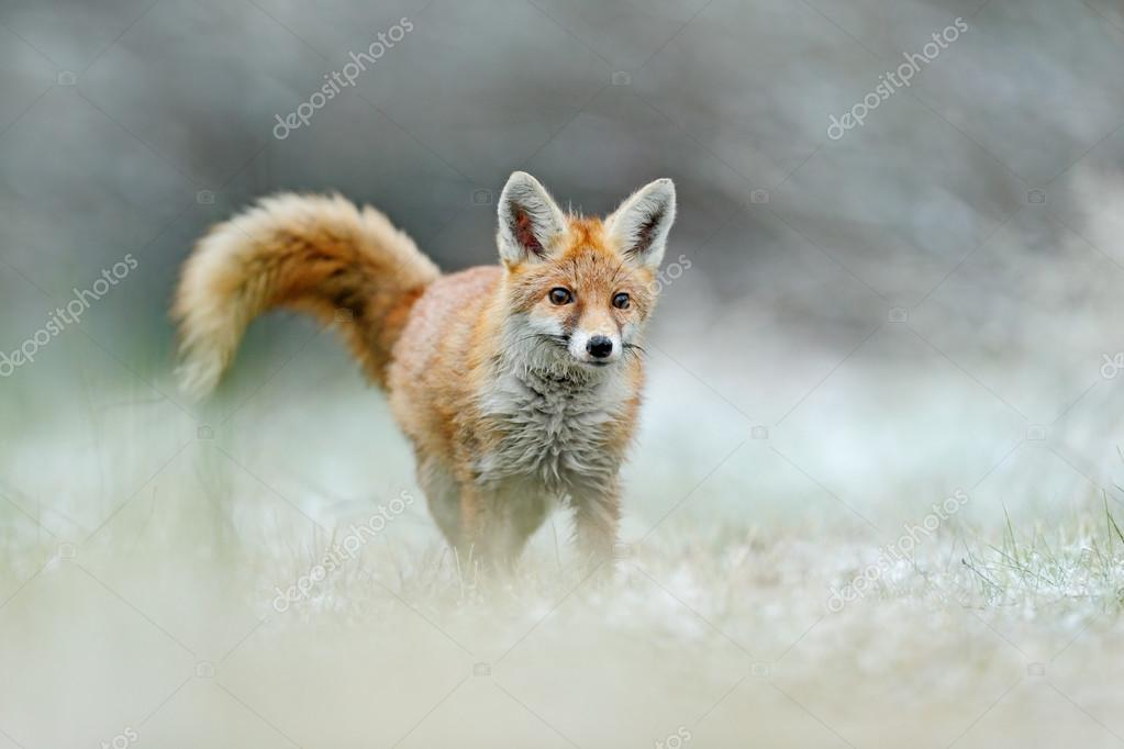 Фотообои Бежит Рыжая Лиса