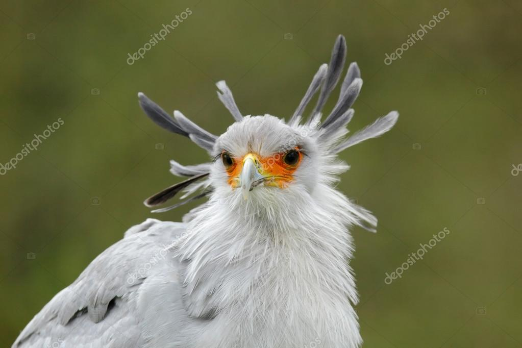 Portrait of nice Secretary Bird