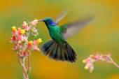 Kolibřík zelený Violet ucho