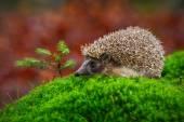 Fotografie West European Hedgehog