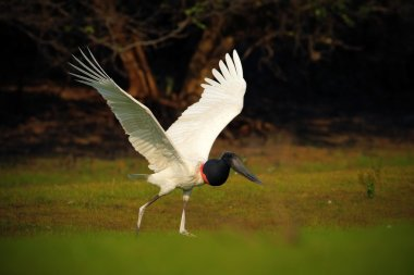 Jabiru mycteria, black and white bird